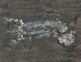 silvanerpeton-holotype