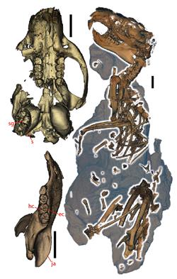 Fossil skeleton of Ischyromys sp.