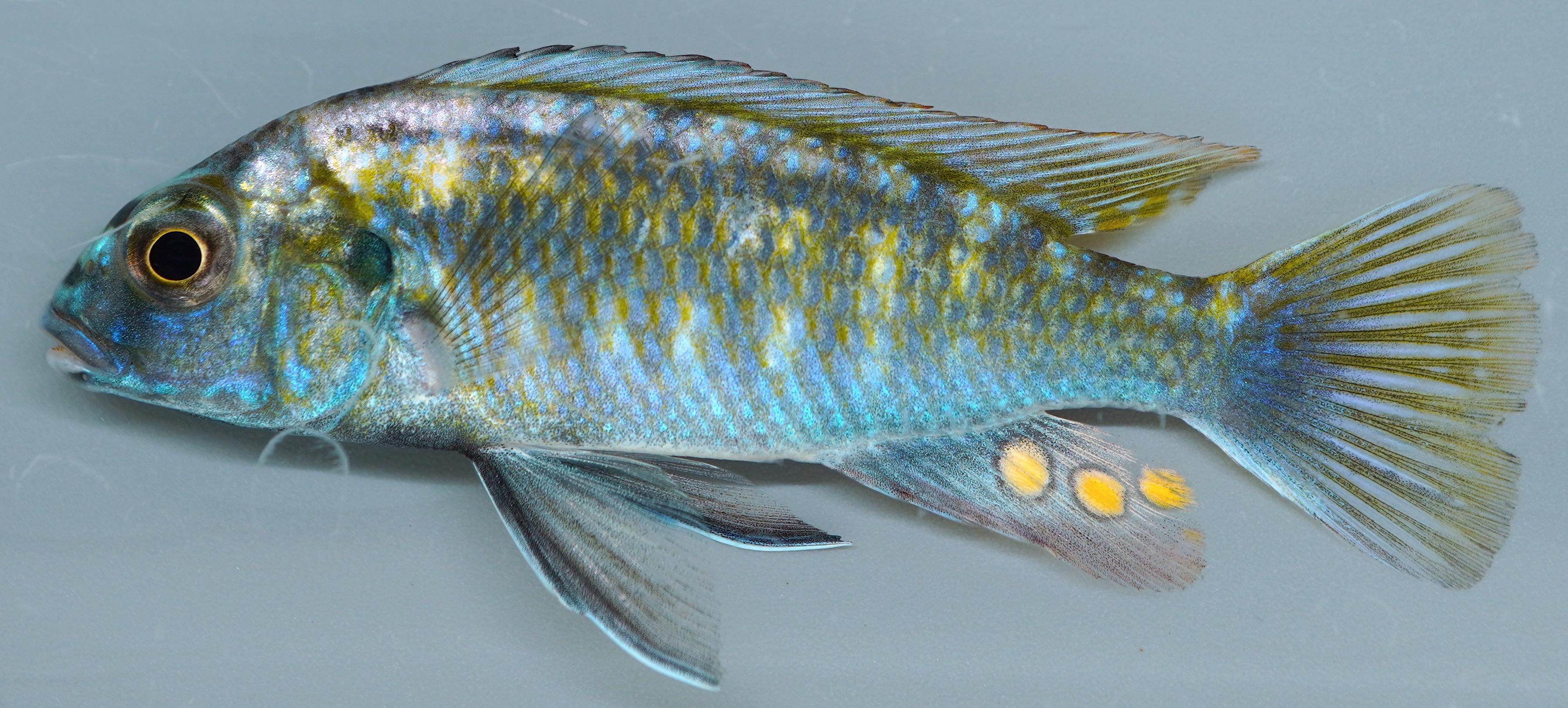 Photo of a Cichlid