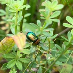 Gastrophysa beetle, likely male