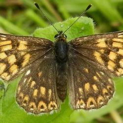 Duke of Burgundy butterfly. Photograph taken by Andrew Bladon.