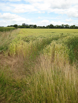 Monoculture crop