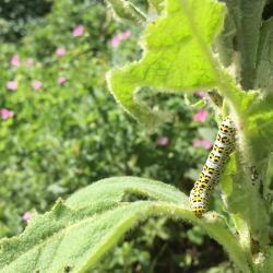 Mullein moth caterpillar in a garden