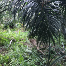 A smallholder oil palm plantation in Malaysia with pineapple inter-cropped throughout and heavy vegetation cover – an example of one type of plantation management