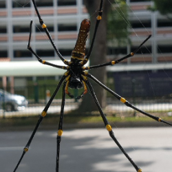 An example of urban wildlife in Singapore – Nephila pilipes