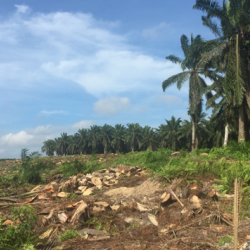 Riparian buffers made of mature palms (seen in the background of this photo) are retained when oil palm plantations are replanted. Do they support biodiversity and ecosystem functions in replanted oil palm landscapes?