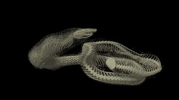 CT scan of a snake - Rhinophis