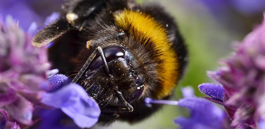 Bumblebee close up