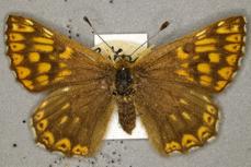 Female Duke of Burgundy butterfly specimen