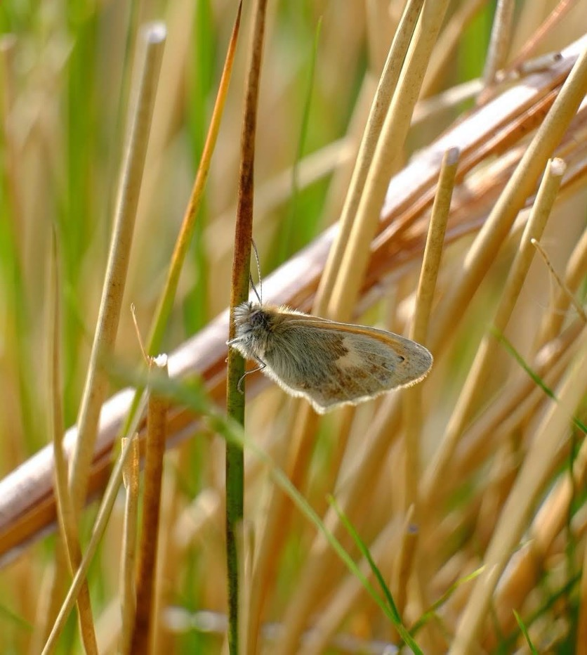 A small heath perched on a stem of grass