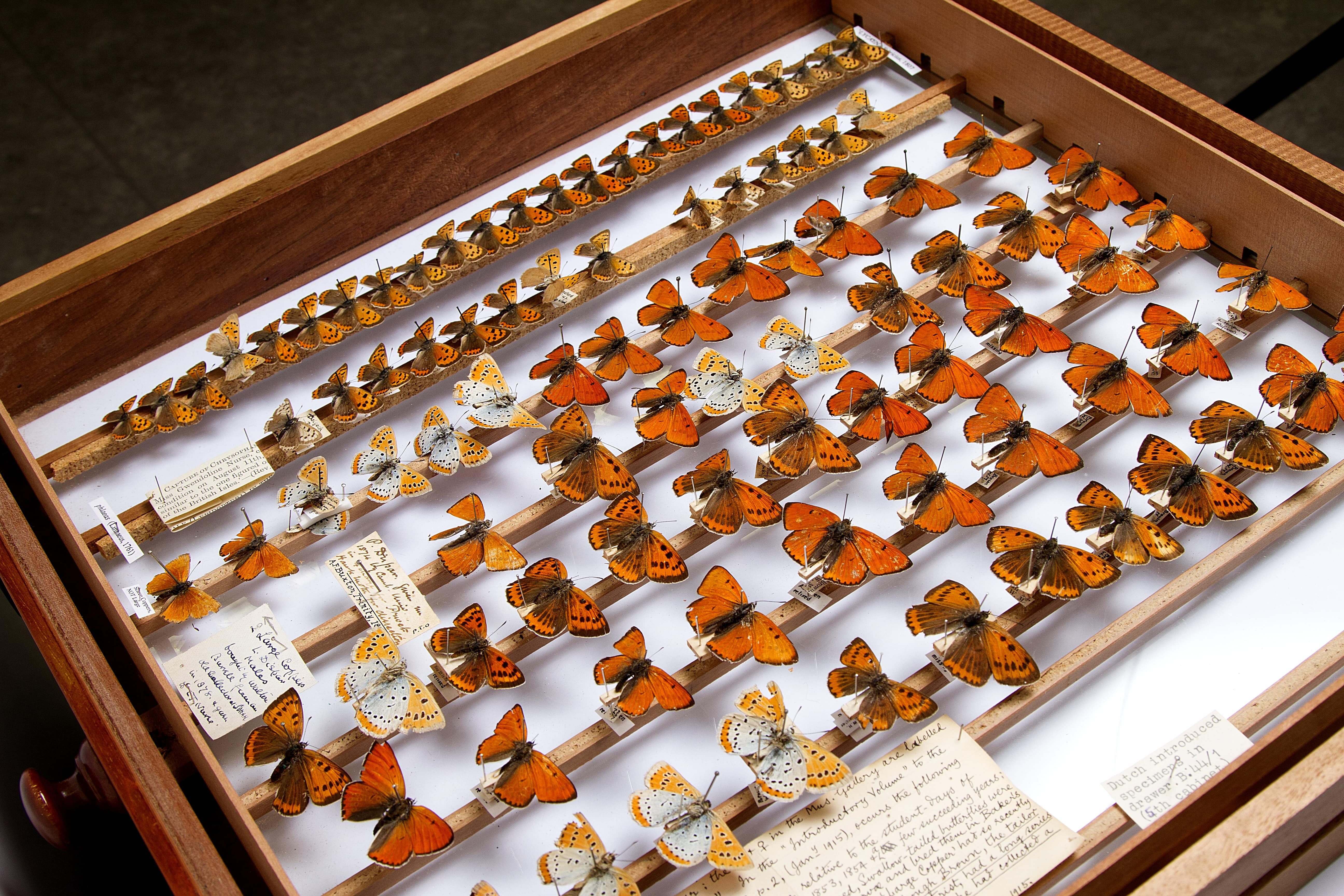 Drawer of butterfly specimens at the University Museum of Zoology, Cambridge