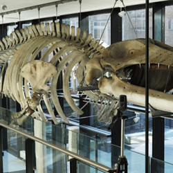 Section of finback whale in the Museum of Zoology