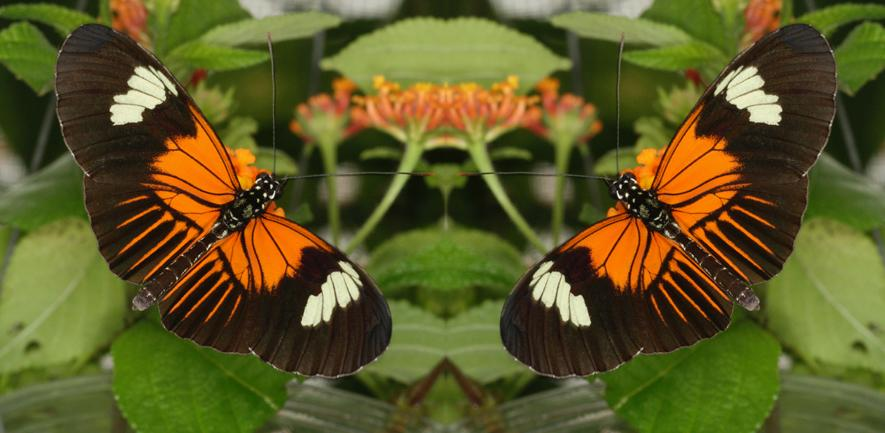 Heliconius mirrored