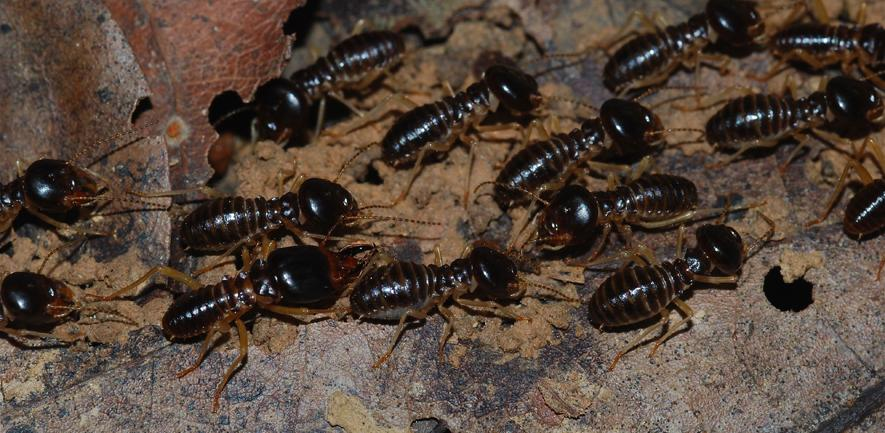 Fungus growing termites, macrotermes carbonarius (Taman Negara NP/Wikimedia/CC BY-SA 2.0)