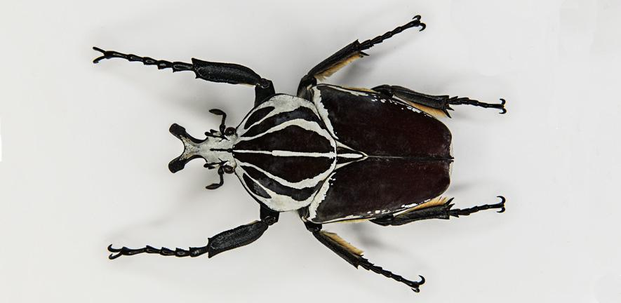 Goliath Beetle - Museum of Zoology