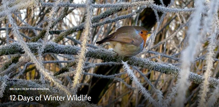 Robin in a frosty tree