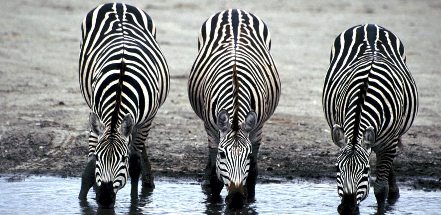 University Lectureship in Animal Ecology - Zebras at a watering hole