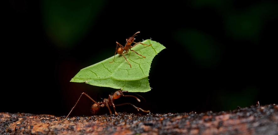 By Geoff Gallice from Gainesville, FL, USA - Leaf-cutter ants, CC BY 2.0, https://commons.wikimedia.org/w/index.php?curid=18800665