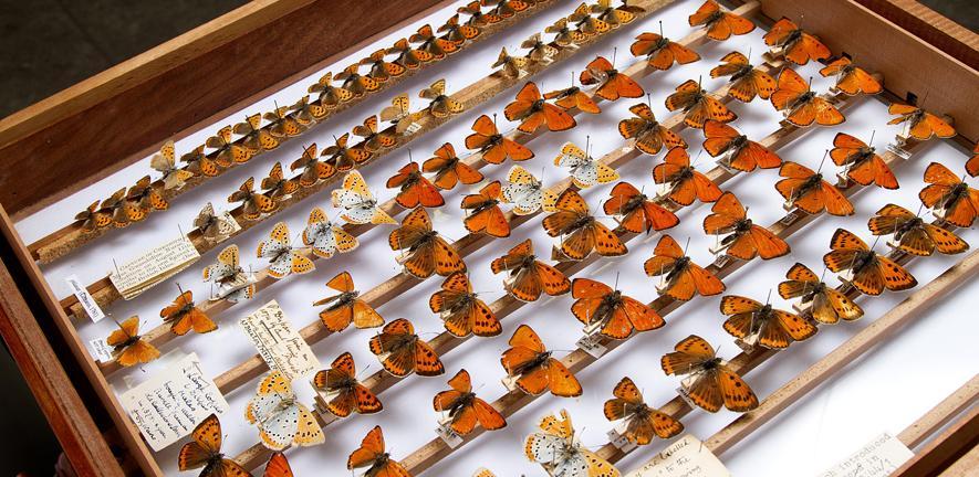 Specimen drawer full of butterflies