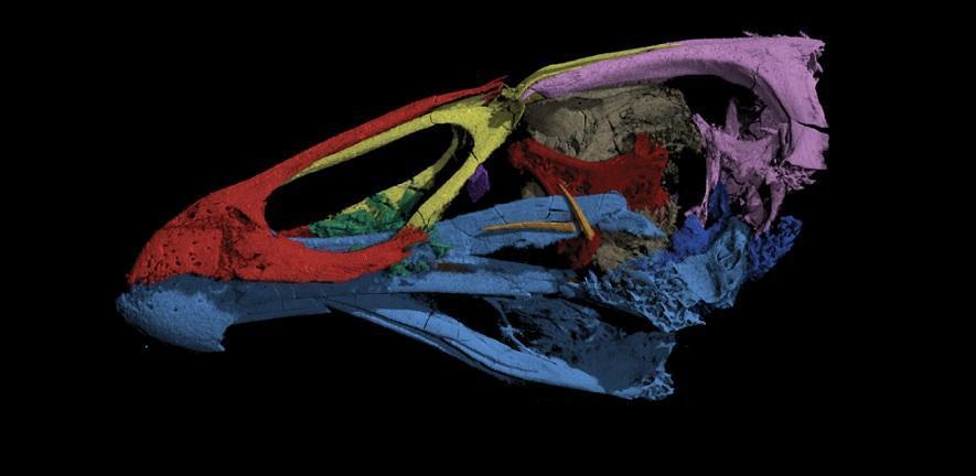 'Wonderchicken' - Asteriornis, Field et. al., Nature (2020)
