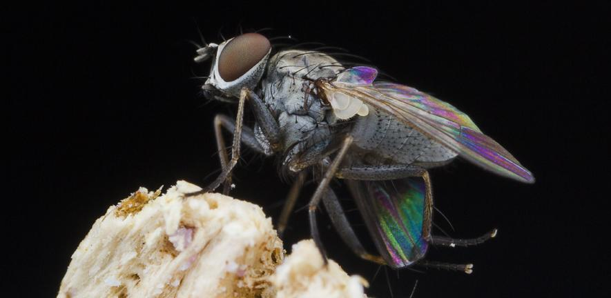 Side view of a Killer fly