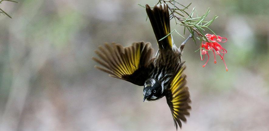 New Holland honeyeater in flight (c) Jessica McLachlan
