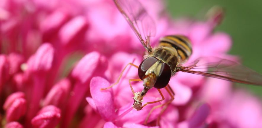 A hoverfly, Episyrphus balteatus Photo courtesy of Chris Jiggins