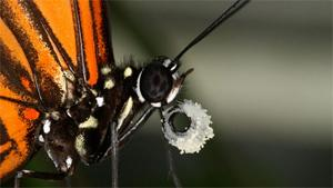 Read more at: Butterfly genome reveals a promiscuous past
