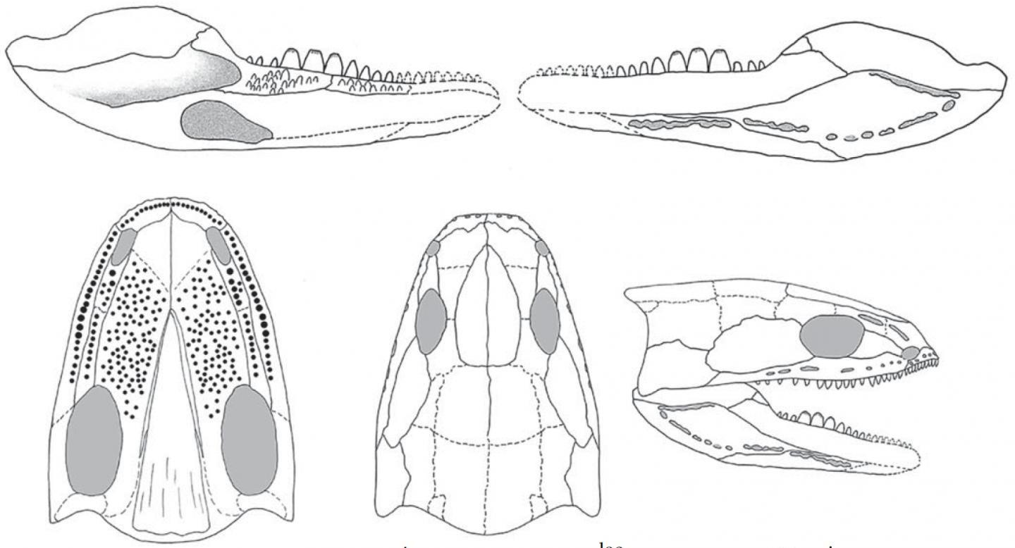 Reconstructed skull and lower jaw of Acherontiscus caledoniae (c) Prof Jenny Clack