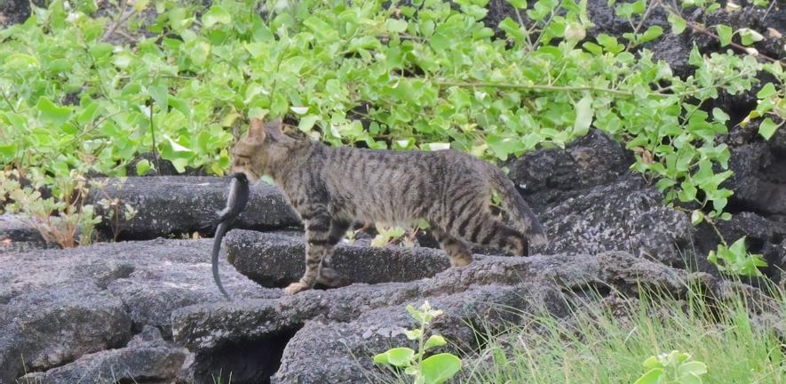 Cat and iguna.  Photo credit: C. Marmion