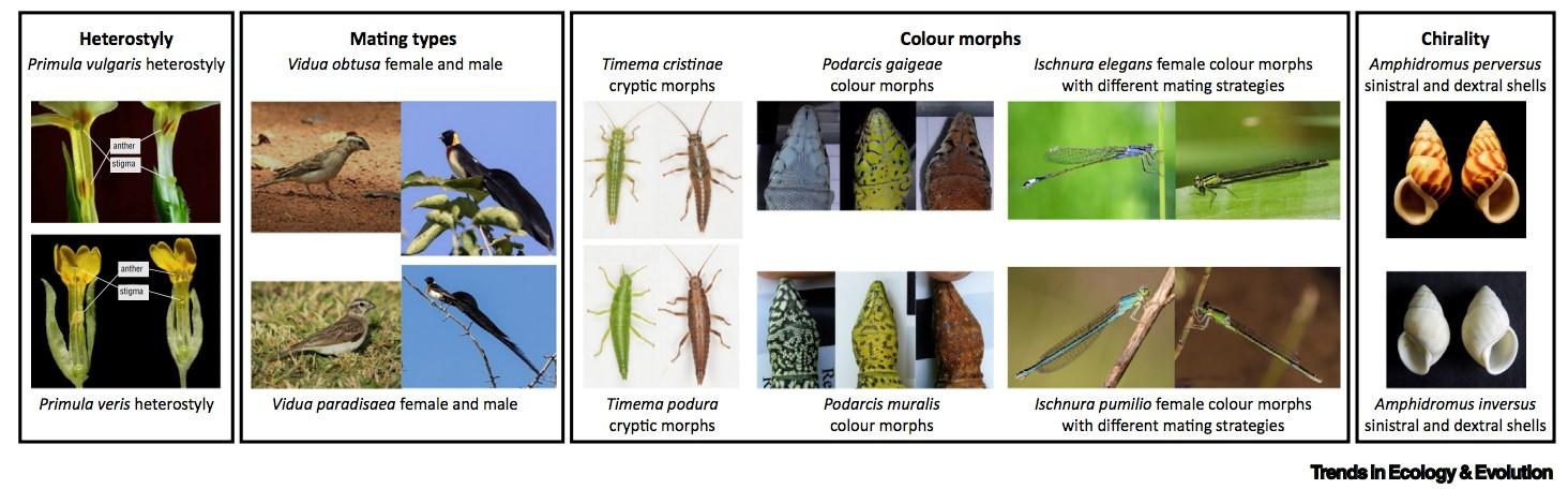 Examples of phenotypic trans-species polymorphisms